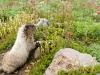 hoary-marmot-mount-rainier