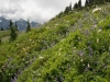 lupine-hillside