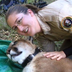 Tracy with sedated mountain lion captured for radio telemetry