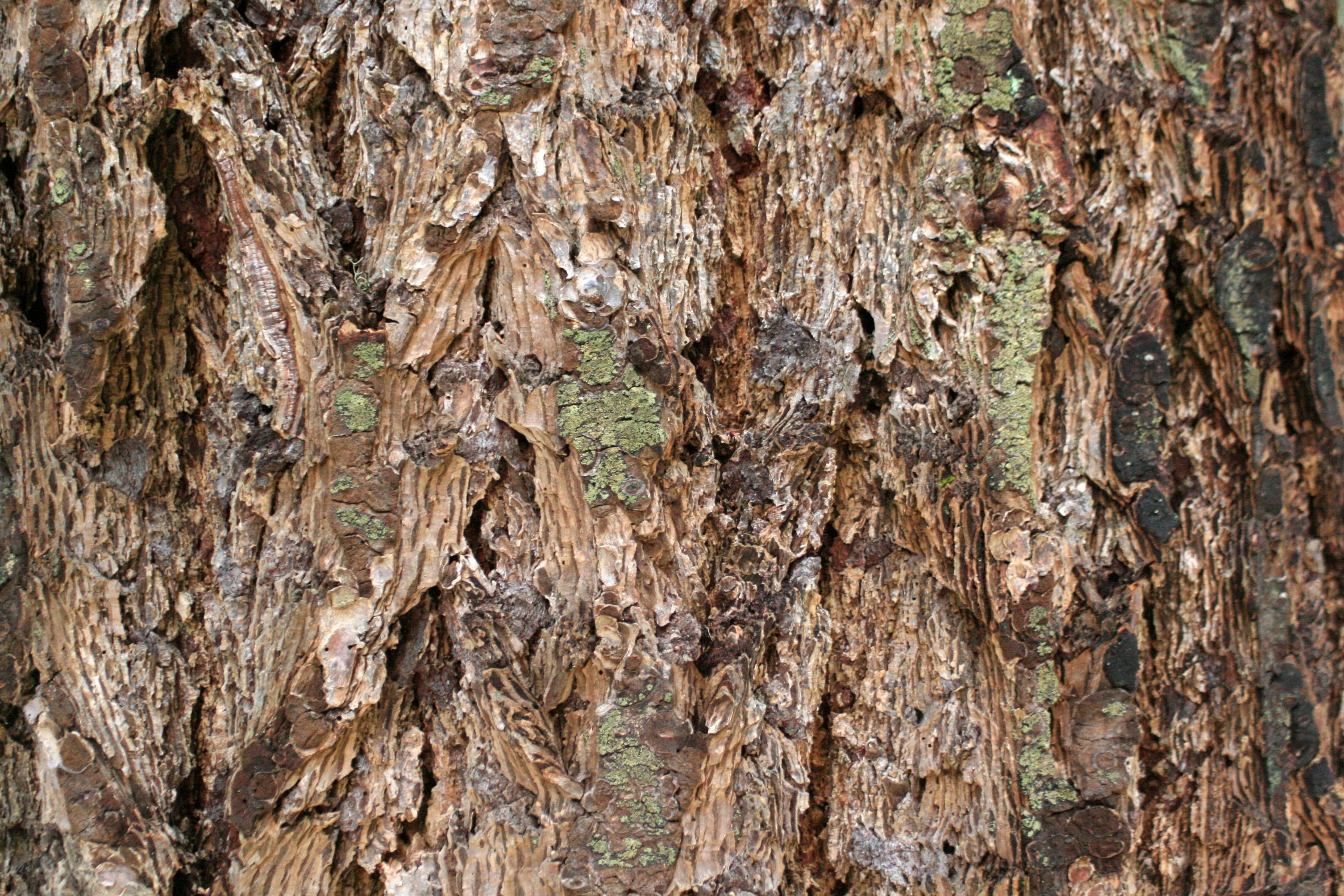 Douglas Fir bark close-up