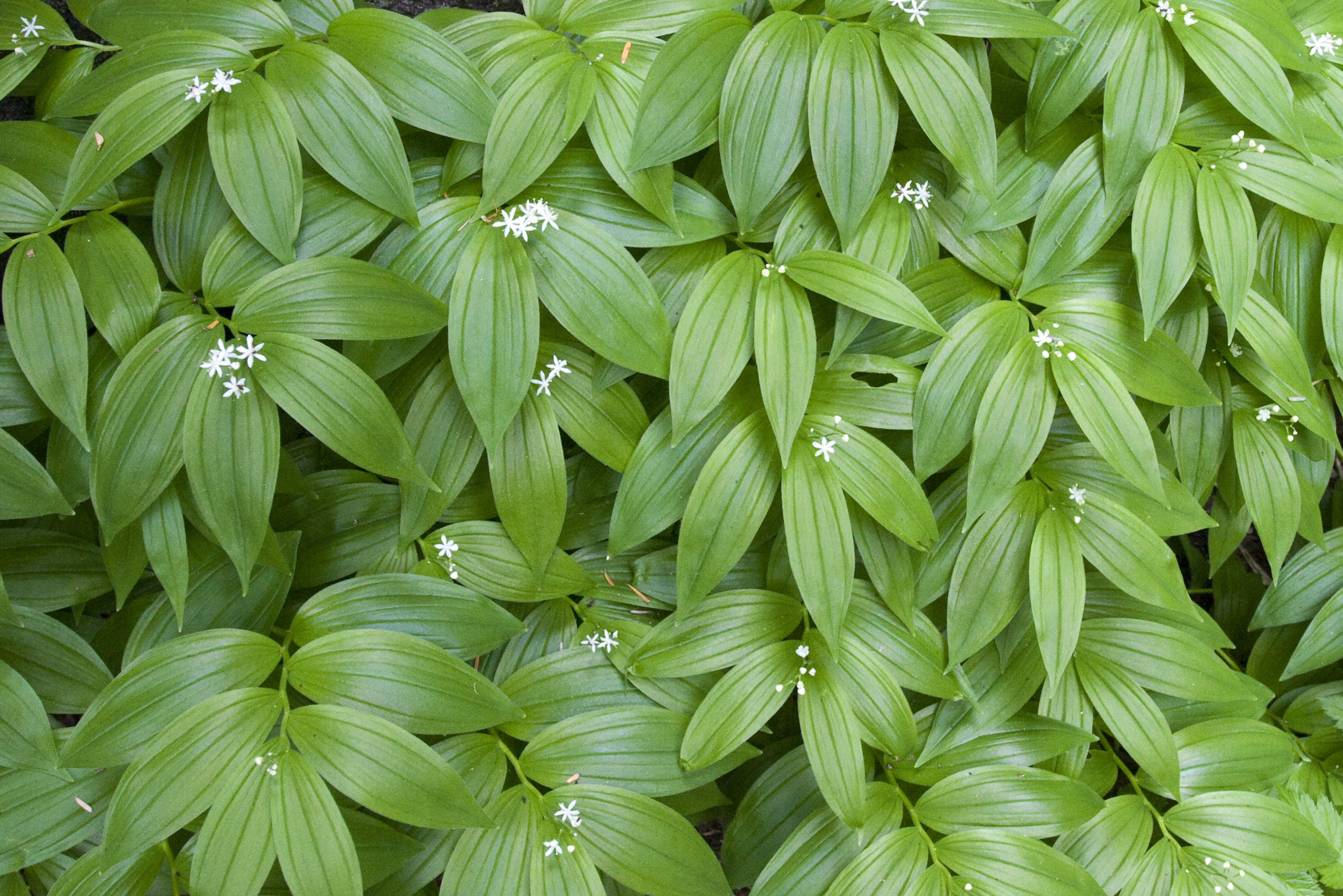 Texture of False Solomon's Seal leaves and flowers