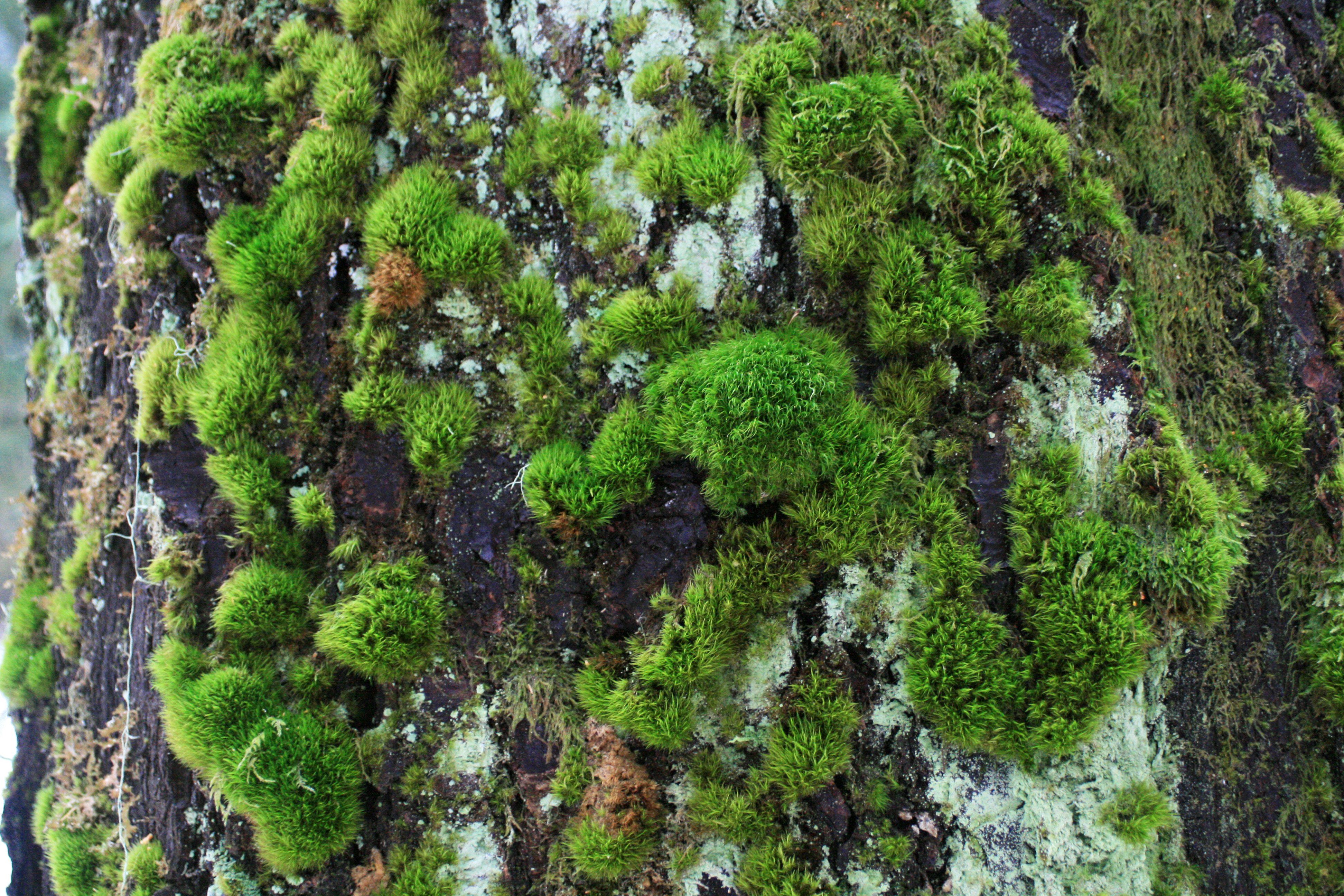 Patches of bright green moss on tree trunk