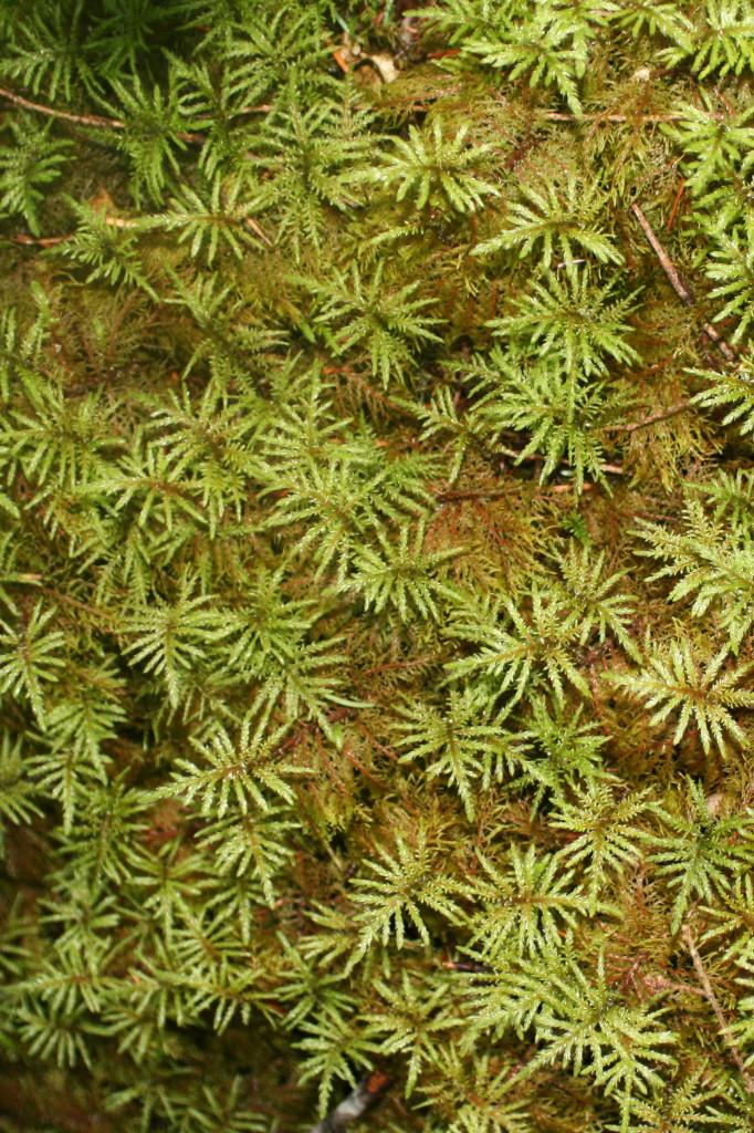 Close view of thick Washington State moss