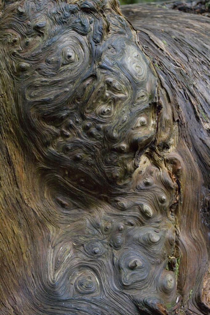 Swirling burl on old growth fallen log at Mount Rainier