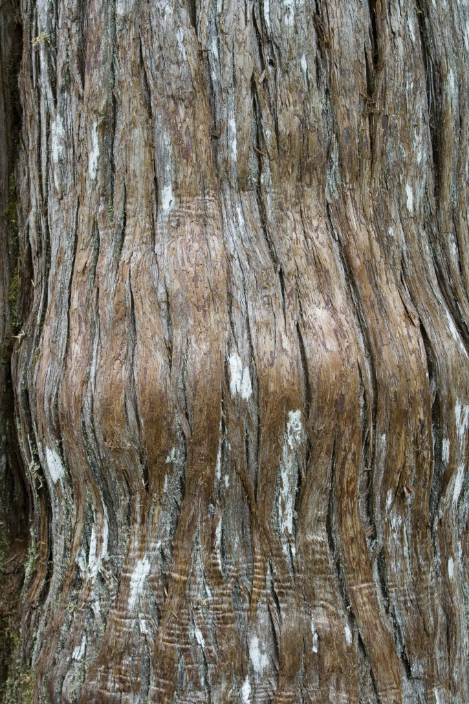Furrowed bark of an old growth western red cedar with lichen