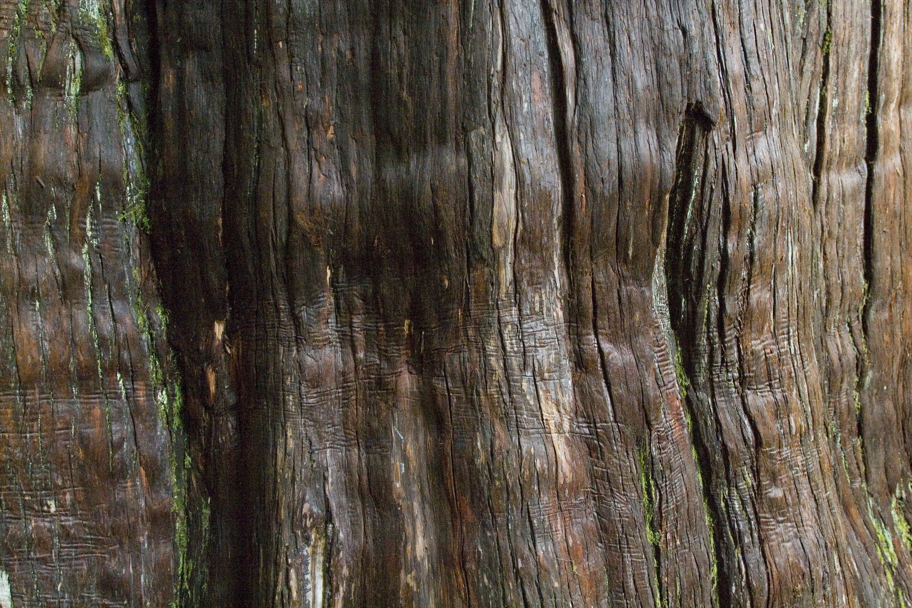 Undulating old growth western red cedar bark with creases