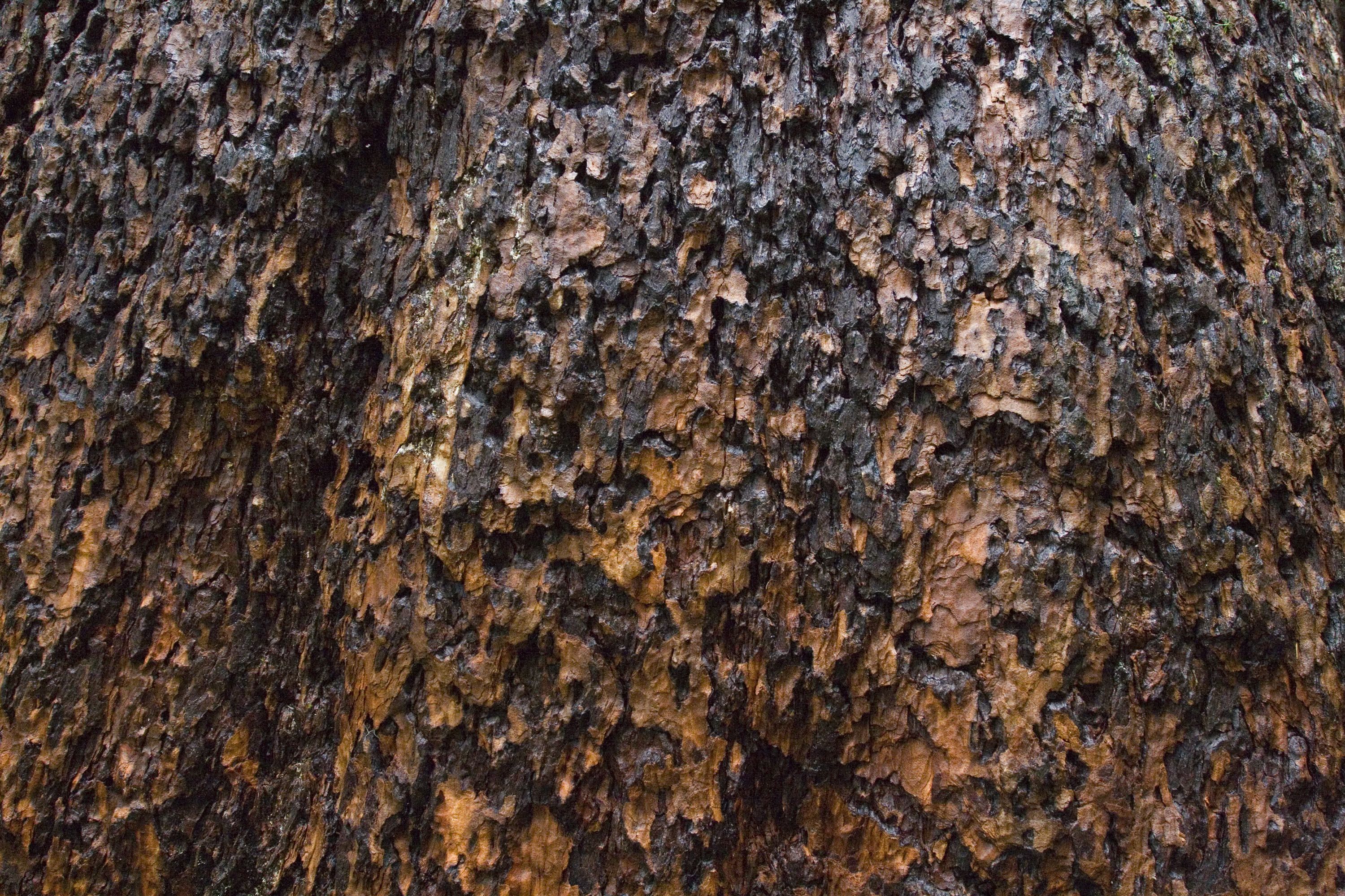 Flaky bark of an old growth Douglas-fir tree