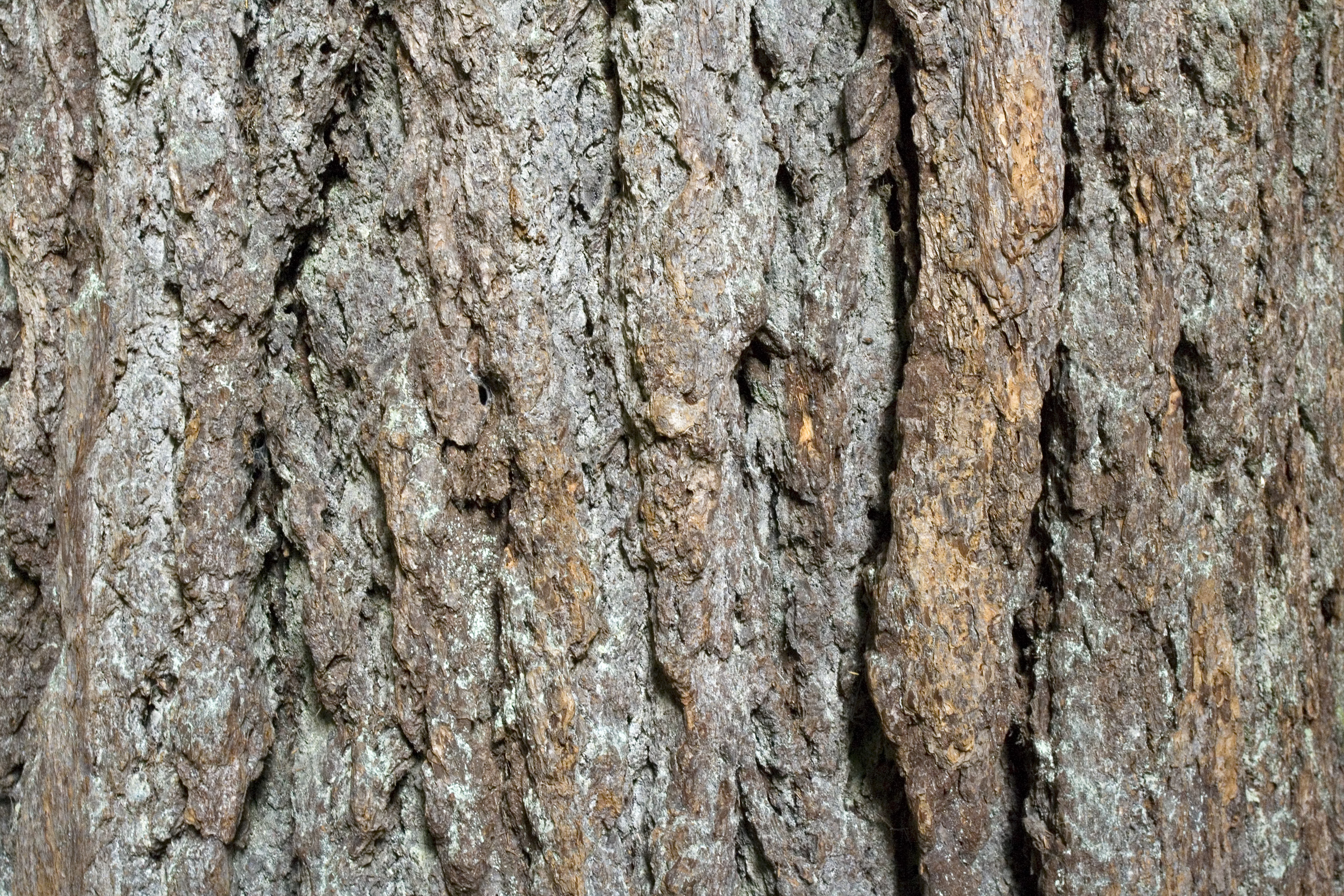 Furrowed bark of an old growth Douglas-fir tree
