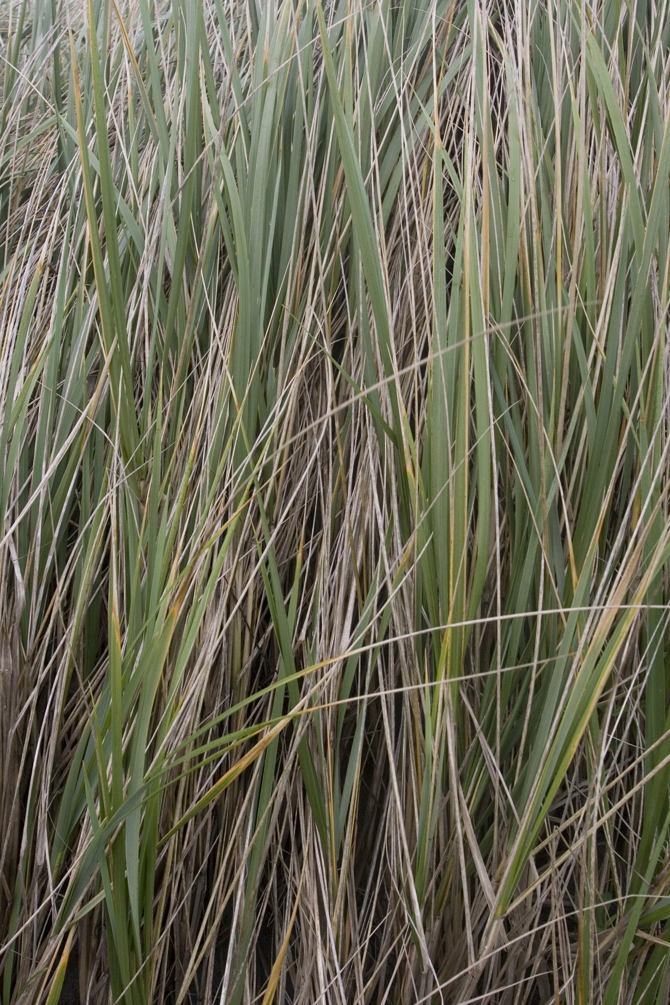 Ocean Shores grass texture