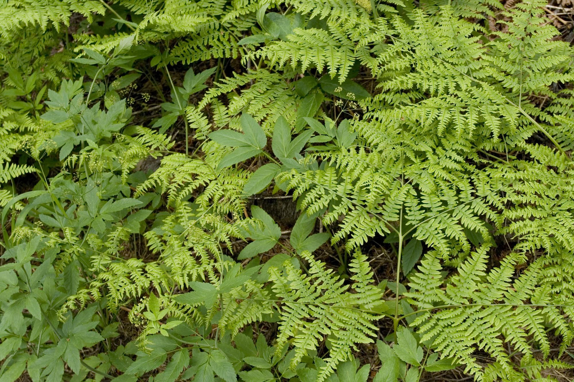 ferns in the Teanaway