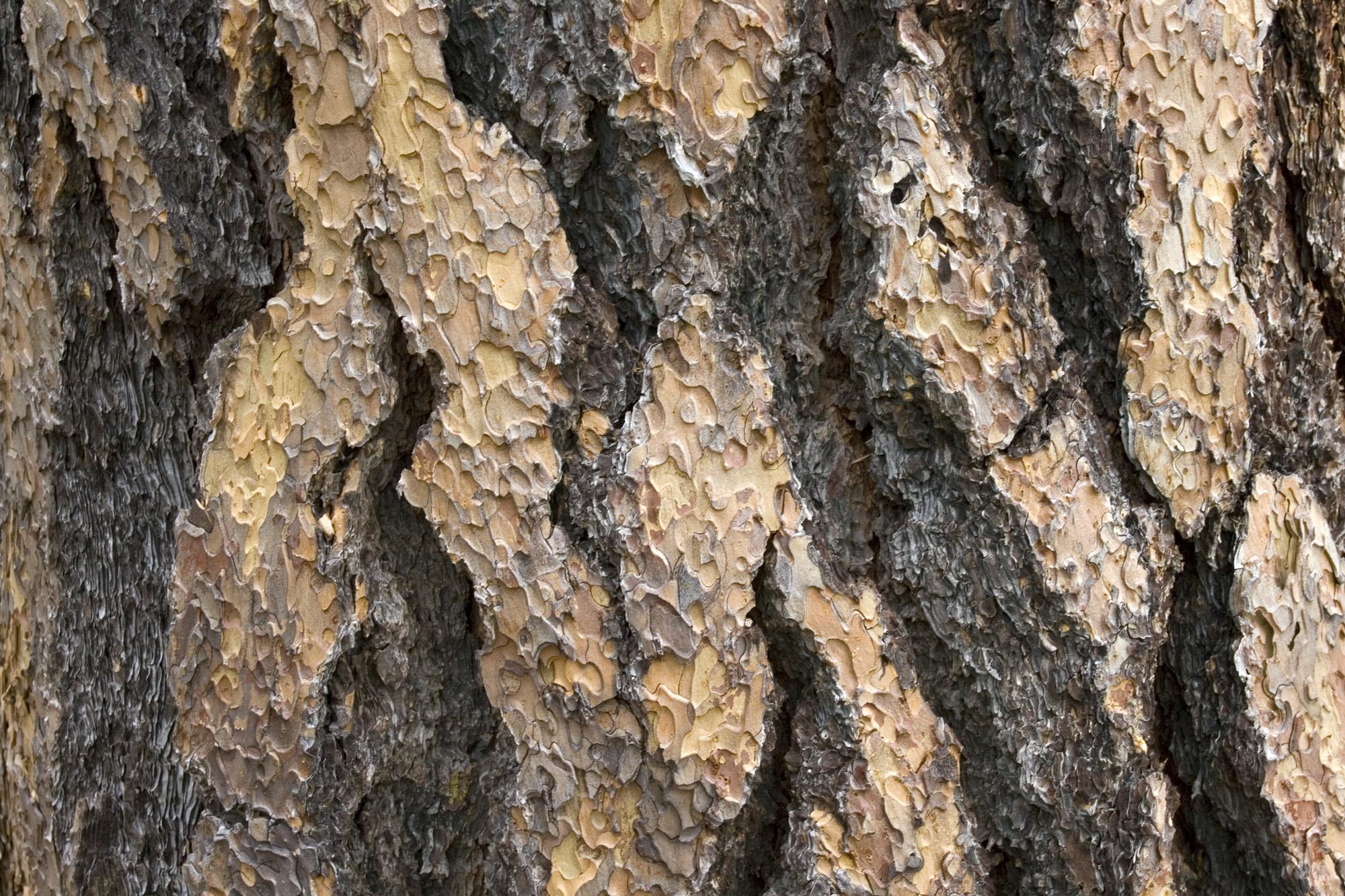 ponderosa pine bark