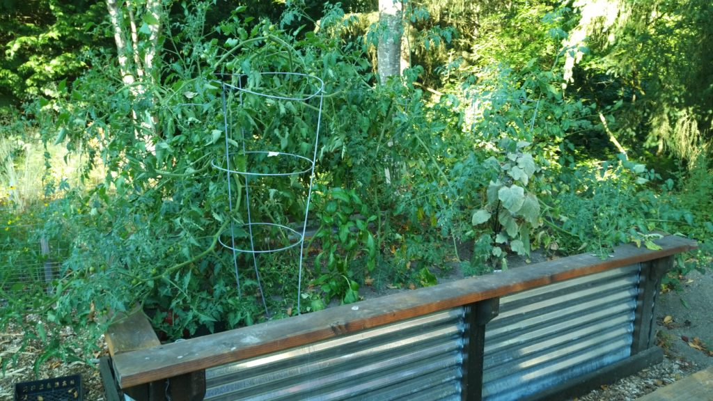 Planter bed with overgrown tomatoes