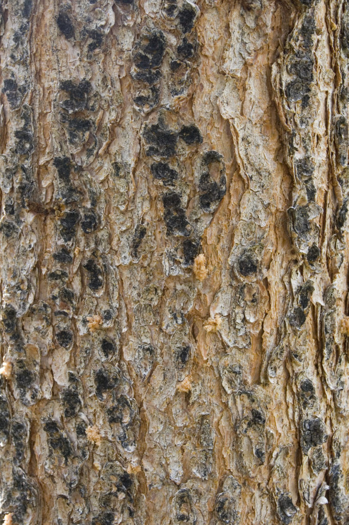 smooth conifer bark